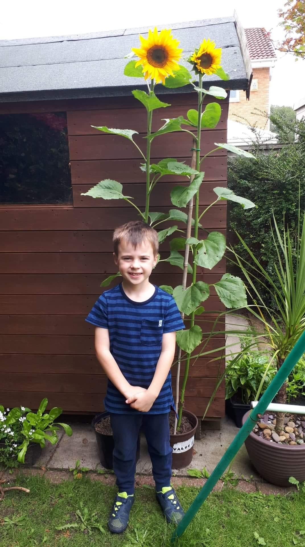 Aug  2020 – Beavers – Growing sunflowers